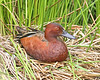 Cinnamon Teal:  Ridgefield NWR, WA  (May, 2008)