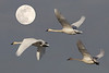 Tundra Swan:  This photo is a composite photo with the moon being added.  The shadows on the swan helped me to decide to go in this direction.