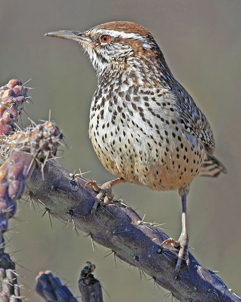 Cactus Wren : Madera Canyon, AZ (January,2009)