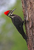 Pileated Woodpecker: Ridgefield NWR (June, 2008)
