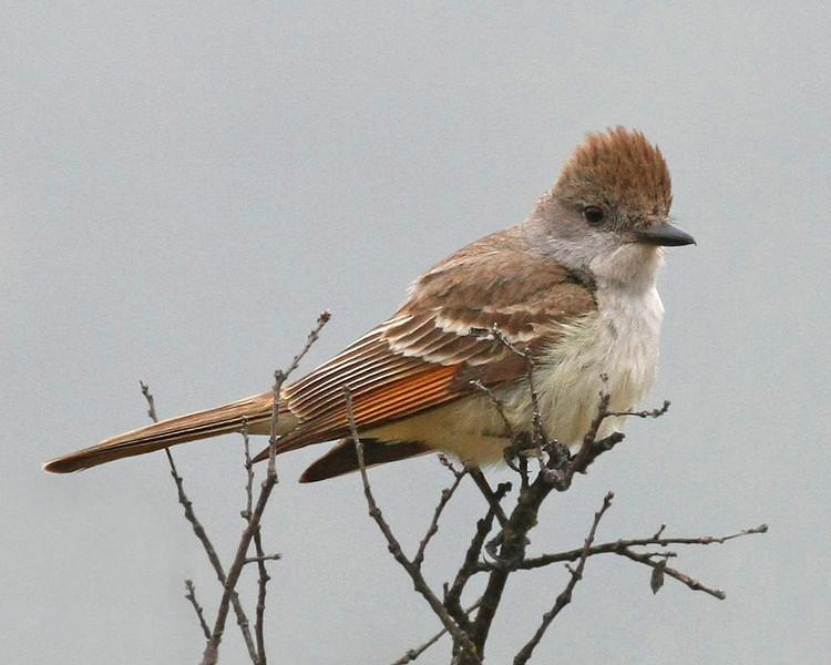 Ash-throated Flycatcher: Murrieta, CA (5-09)