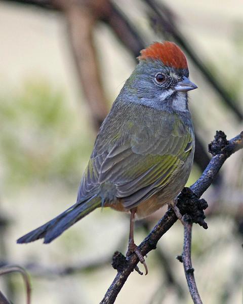 Green-tailed Towhee : Madera Canyon, AZ (January,2009)