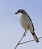 Loggerhead Shrike: Salton Sea, CA (12-27-14)
