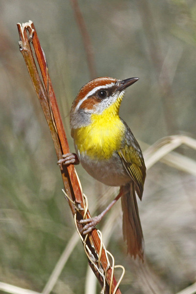Rufous-capped Warbler, a rare visitor to the U.S. in Florida Canyon, AZ (March 2012)