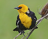 Yellow-headed Blackbird: Ridgefield NWR, WA (May, 2013)