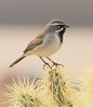 Black-throated Sparrow: Green Valley, AZ (2-15-15)