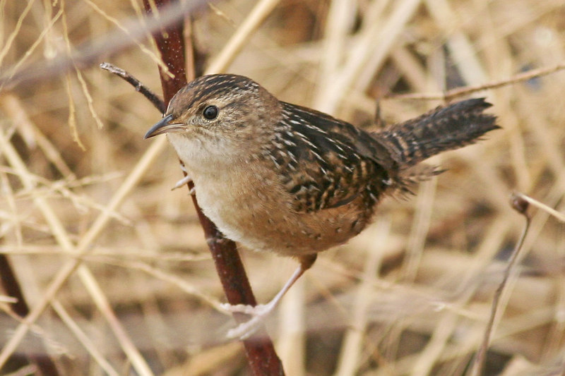 Sedge Wren: Louisiana (December, 2006)