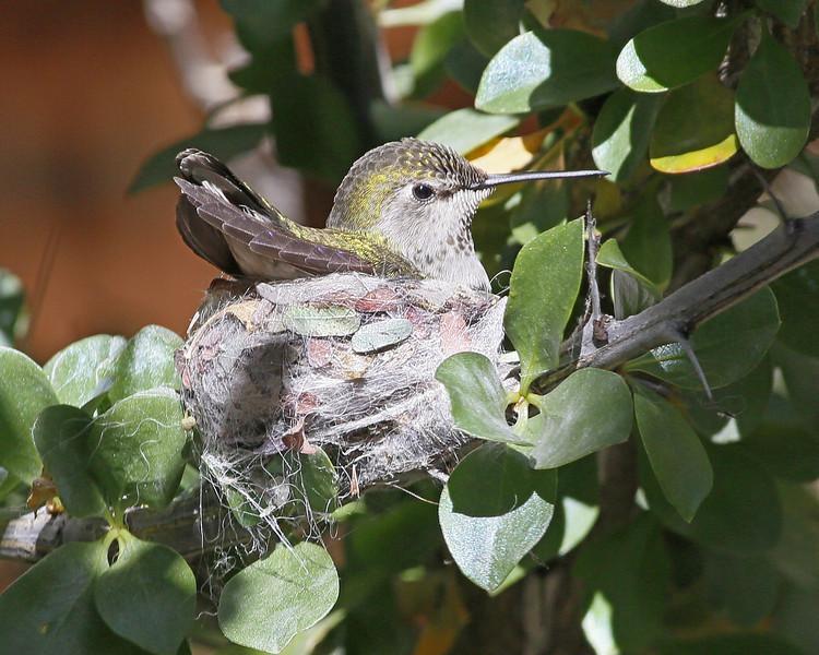 Nesting Anna's Hummingbird taken at the Desert Museum near Tucson, AZ (1-24-14)