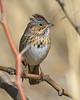 Lincoln Sparrow: Sierra Vista, AZ (January,2009)