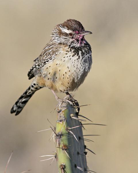 Cactus Wren, Green Valley, AZ (March 2012)