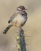 Cactus Wren, Green Valley, AZ (March 2012)