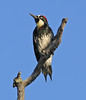 Acorn Woodpecker: Murrieta, CA (9-6-13)