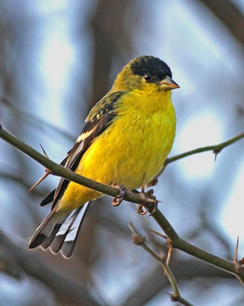 Lesser Goldfinch:  Sierra Vista, AZ (January, 2010)