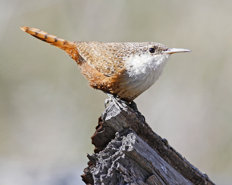 Canyon Wren: Florida Canyon near Madera Canyon, AZ (March 2012)