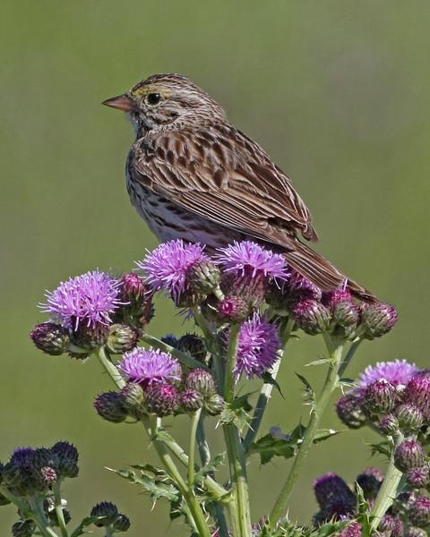 Savannah Sparrow: Ridgefield NWR, WA (July, 2008)