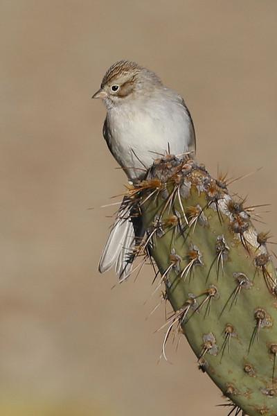 Brewer's Sparrow: Green Valley, AZ (1-17-14)
