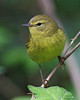 Orange-crowned Warbler: Ridgefield NWR, WA (April, 2010)
