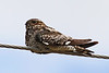Common Nighthawk, Bickleton, WA (July, 2010)