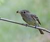 Pacific-slope Flycatcher: Brush Prairie, WA (July 4, 2014)