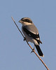 Loggerhead Shrike, Taken at Salton Sea NWR, CA