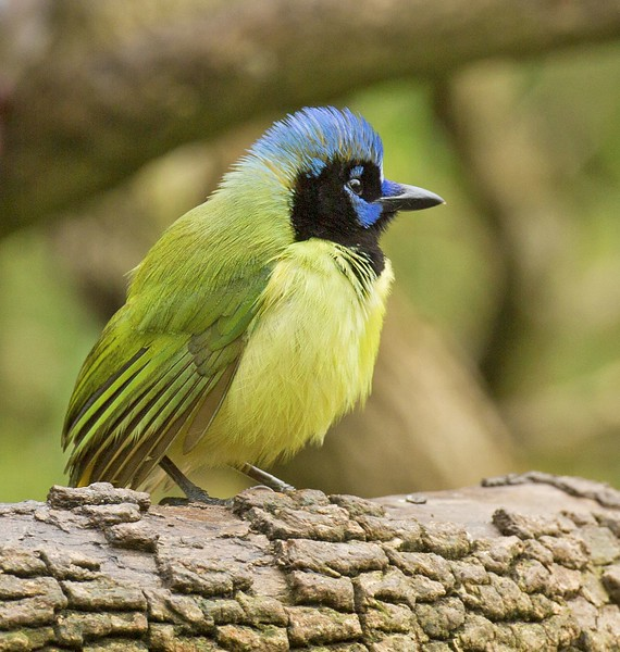 Green Jay: Bentsen Wild Bird Center near Mission,Texas (3-18-15)