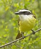 Great Kiskadee: Bentsen Wild Bird Center near Mission,Texas (3-18-15)