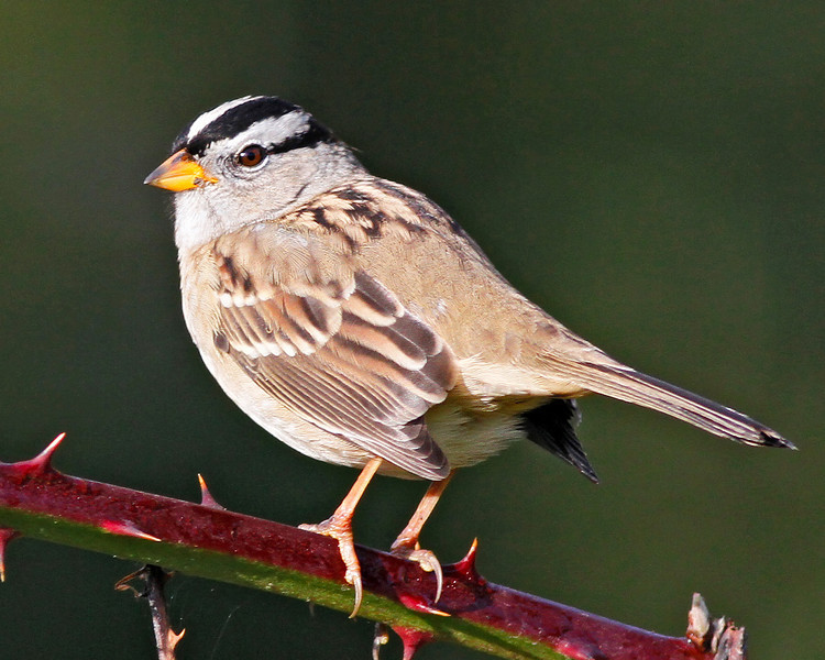 White-crowned Sparrow:  Ridgefield NWR (June, 2010)