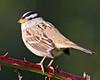 White-crowned Sparrow:  Ridgefield NWR (June, 2010)