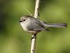 Bushtit (Male): Ridgefield NWR, WA (4-1-15)