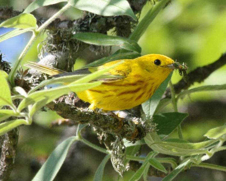 Yellow Warbler: Ridgefield NWR, WA (July, 2008)