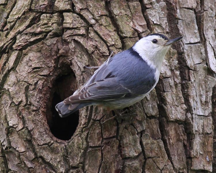 White-breasted Nuthatch: Ridgefield NWR, WA (May, 2010)