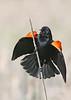 Red-winged Blackbird: Ridgefield NWR, WA (5-13-14)