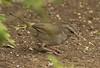 Olive Sparrow: Laguna Atascosa NWR, Texas (3-20-15)