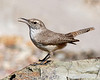 Rock Wren: Mountain Park near Tucson, AZ (February, 2011)