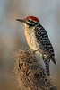 Ladder-backed Woodpecker : Green Valley, AZ (January,2009)