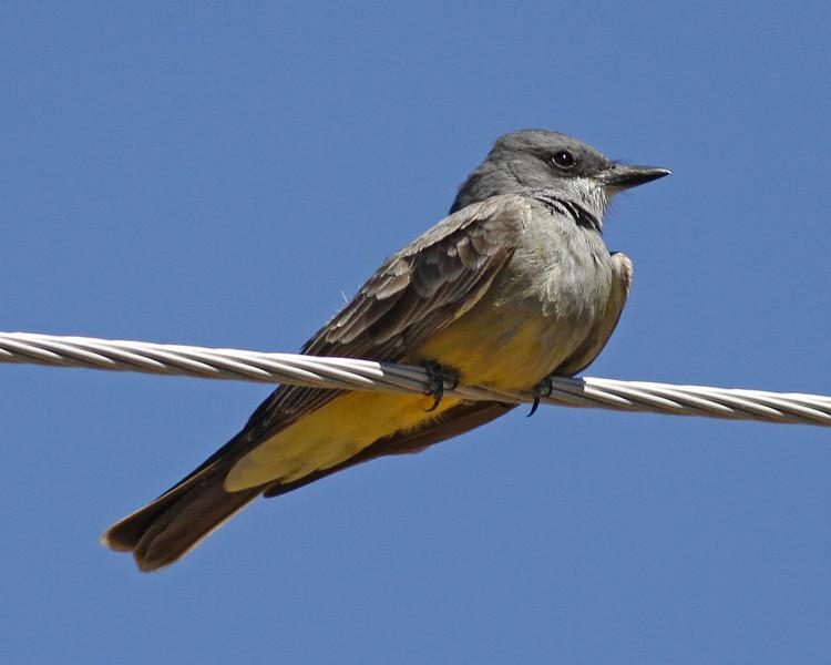 Cassin's Kingbird: Tubac, AZ (March 2012)
