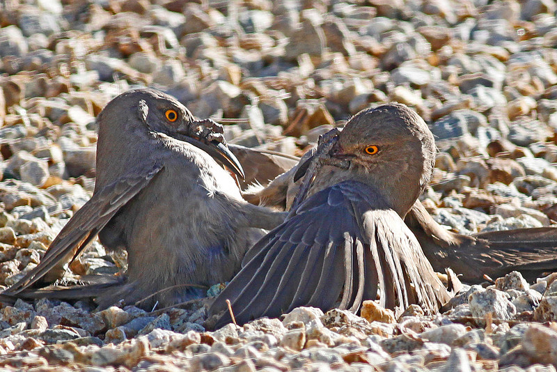 Curved-bill Thrashers in a home turf fight: Green Valley, AZ (January, 2011)