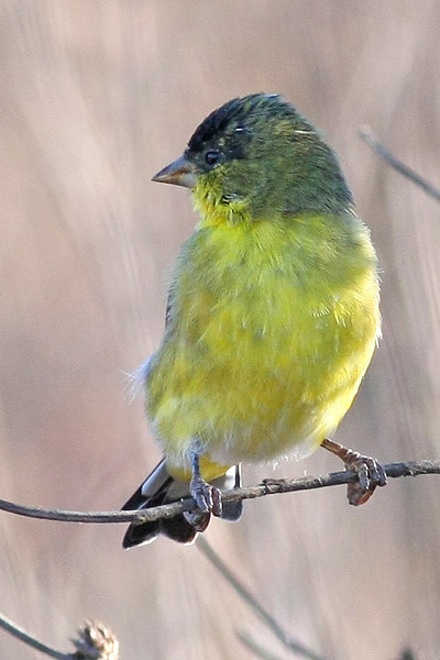Lesser Goldfinch:  Near Murrieta, CA  (September, 2009)