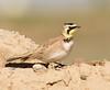 Horned lark: Santa Clara Flats near Elroy, AZ (2-3-15)