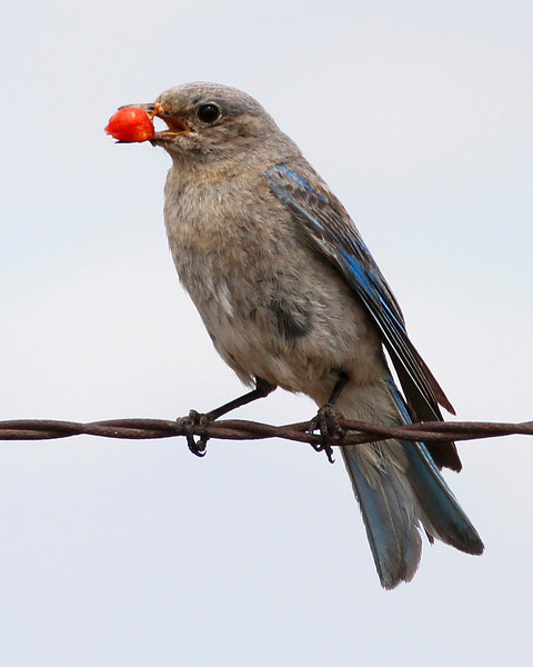Mountain Bluebird (Female): Bickleton, WA (July, 2010)