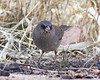 Dark-eyed Junco (Slate-colored): Pena Blanca Lake, AZ (February, 2012)