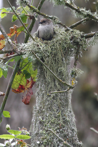 Bushtit and nest: Ridgefield NWR, WA (June, 2011)