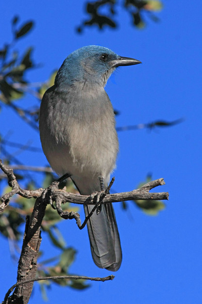 Mexican Jay: Madera Canyon, AZ (January,2009)