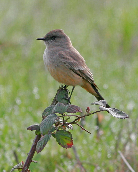 Say's Phoebe at the Ridgefield Wildlife Refuge