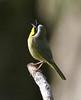 Yellowthroat Warbler.  Ridgefield NWR, WA