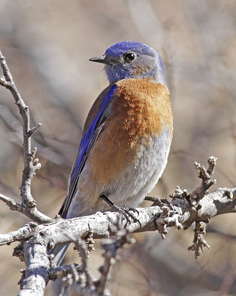 Western Bluebird: Florida Canyon, AZ (February, 2012)