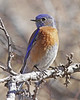 Western Bluebird: Florida Canyon, AZ (February, 2012)