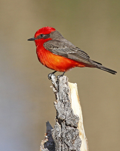 Vermilian Flycatcher: near Nogales, AZ (February, 2012)