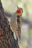 Red-naped Sapsucker:  Taken at Madera Canyon, AZ