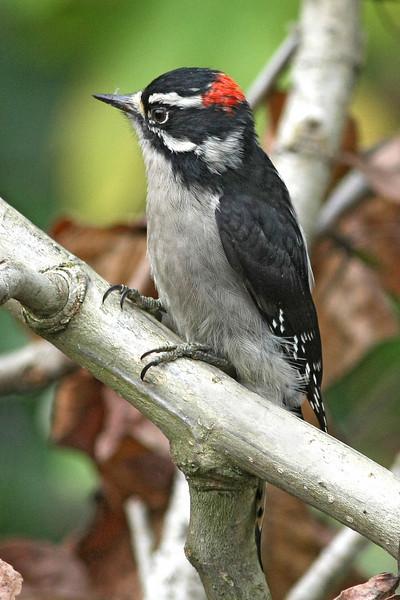 Downy Woodpecker: Ridgefield NWR, WA (10-08)